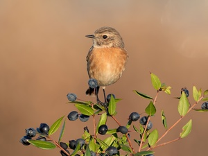 Bird, female, twig, Stonechat