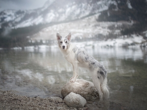 dog, water, Stones, Border Collie