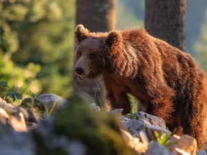 forest, Brown bear, Stones