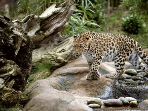 Leopards, Stones