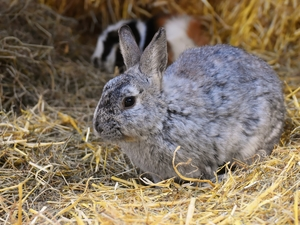 straw, Gray, Rabbit