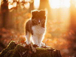 Moss, Leaf, Puppy, stump, shetland Sheepdog