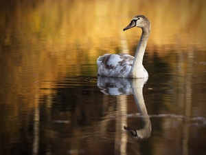 young, water, reflection, Swans