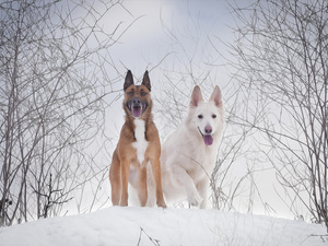 White Swiss Shepherd, graphics, Two cars, Dogs, winter
