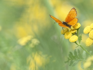 butterfly, Scarce Copper, Tansy, Orange, Colourfull Flowers