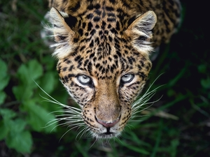 The look, Leopards