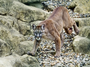 rocks, cougar, The look