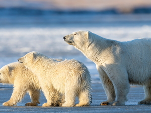 Three, Polar Bears