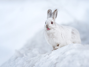 White, Tounge, snow, Wild Rabbit