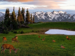 deer, deer, Olympic National Park, viewes, trees, Washington State, car in the meadow, Mountains, The United States, snow, peaks, Snowy