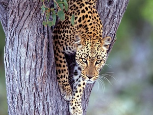 Leopards, trees