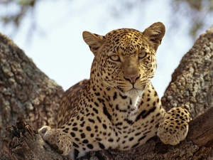 trees, Resting, Leopards