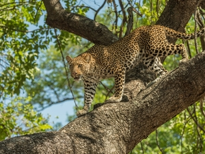 trees, standing, Leopards