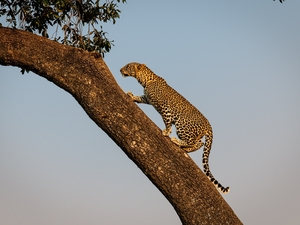 trees, Leopards, Sloping