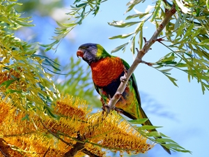 viewes, Flowers, Mountain Rainbow Lorikeet, trees, parrot