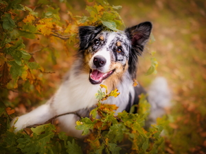 Leaf, Australian Shepherd, Twigs