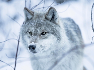 Twigs, Wolf, snow
