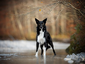River, dog, viewes, Twigs, trees, Border Collie