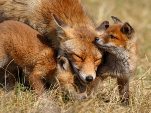 young, foxes, fox, Two cars, red head