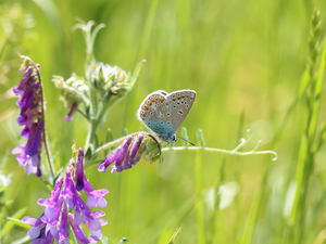 butterfly, Colourfull Flowers, Vetch, Dusky Icarus