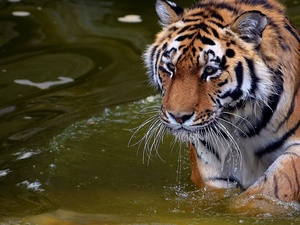 tiger, water
