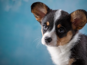 Puppy, Welsh corgi cardigan