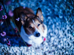 Flowers, dog, Welsh corgi pembroke
