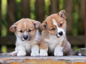 puppies, Welsh corgi pembroke