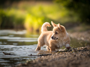 water, dog, Welsh corgi pembroke