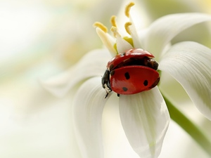 ladybird, White, Close, Colourfull Flowers