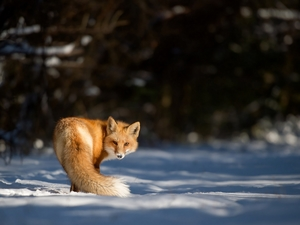 ginger, snow, winter, Fox