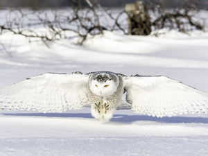 snow, Snowy Owl, winter