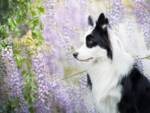 dog, Flowers, wistaria, Border Collie