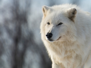Polar Wolf, fuzzy, background, White