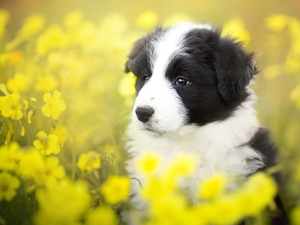 Yellow, Flowers, Border Collie, Meadow, Puppy