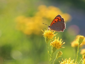 Yellow, Flowers, butterfly, Insect, Lycaena