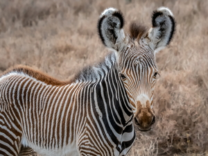 young, Zebra